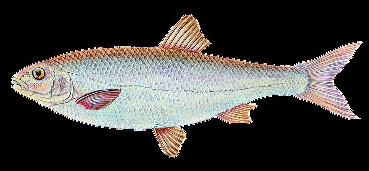 Dace, Fish, Freshwater, Freshwater Fish, Nature