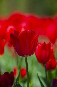 Tulips, Red, Flowers, Bloom, Blossom, Flora
