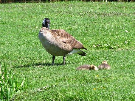 Geese, Goslings, Mother Goose, Birds, Water Birds