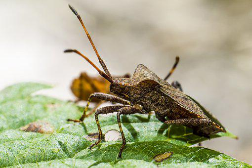 Dock Bug, Coreus Marginatus, Leaf, Parasite, Bug