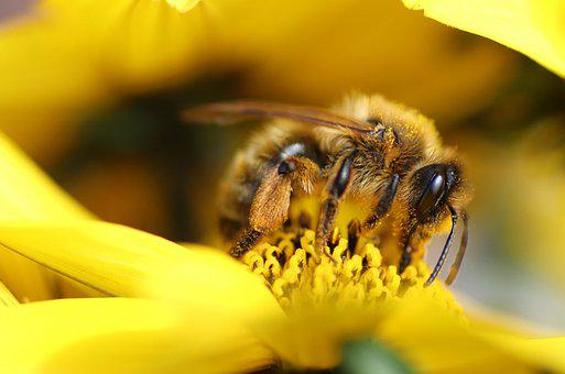 Bee, Pollen, Pollinate, Pollination, Flower, Yellow