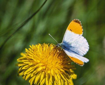 Butterfly, Orange Tip, Flower, Yellow Flower, Pollinate