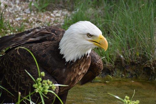 Bald Eagle, Predator, Bird, Nature, Wildlife