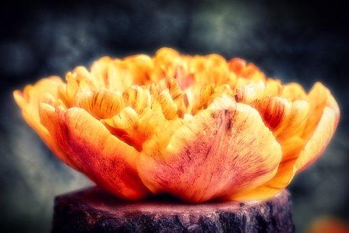 Tulip, Flower, Tree Stump, Petals, Bloom, Spring Flower