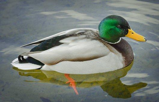 Mallard, Duck, Bird, Feathers, Plumage, Beak, Waterfowl