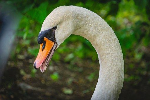 Swan, Bird, Beak, Bill, Head, White Swan
