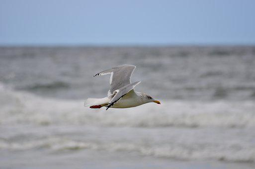 Seagull, Bird, Flying, Gull, Animal