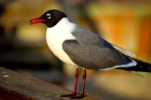Laughing Gull, Gull, Bird, Perched