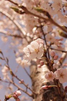 Cherry Blossom, Flower, Blossom, Bloom, Beauty, Essence