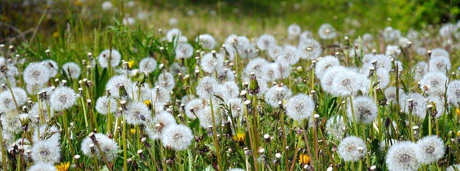 Dandelion, Seeds, Meadow, Flowers, Seed Head, Blowball
