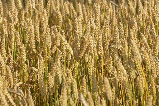 Wheat, Plants, Farm, Field, Cereal Grains, Crop