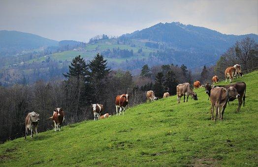 Cattle, Herd, Grazing, Animals, Cows, Livestock