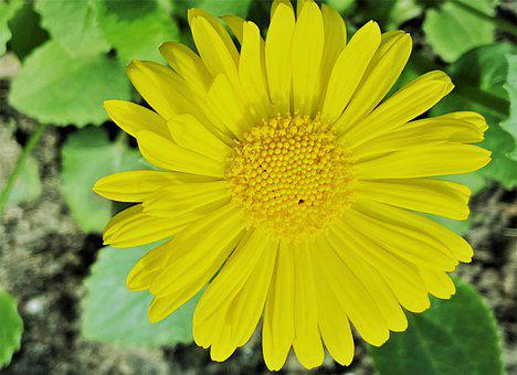 Spring Flowers, Yellow Flower, The Petals, Daisies