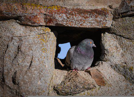 Dove, Alone, Stone, Wall, Forest Pigeon