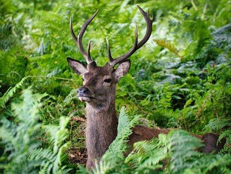 Deer, Wildlife, Fern, Plant, Nature, Animal, Mammal
