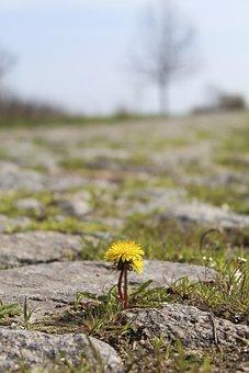 Flower, Dandelion, Road, Flora