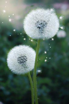 Dandelion, Flowers, Seeds, Fluffy, Seed Head, Blowballs