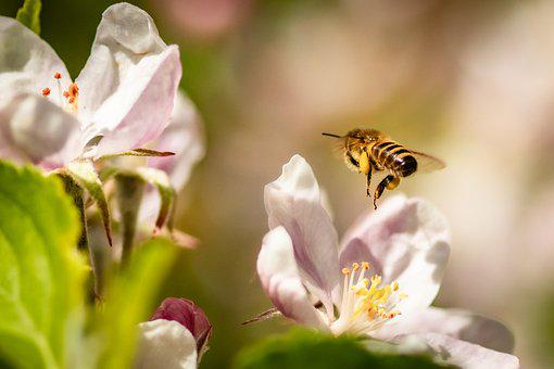 Bee, Apple Blossom, Flowers, Honey Bee, Insect, Flying