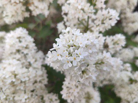 Spring, Bloom, Lilac, White Flower, Flowers