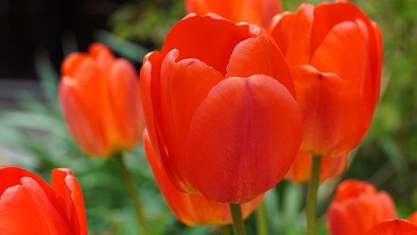Tulips, Tulipa, Flowers, Flora, Tulip, Red, Plants