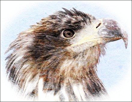 White Tailed Eagle, Eagle, Bird, Head
