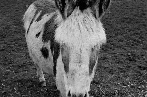 Donkey, Animal, Head, Mammal, Herbivore, Livestock