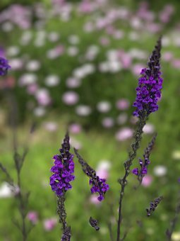 Lavender, Flowers, Meadow, Purple Flowers, Bloom
