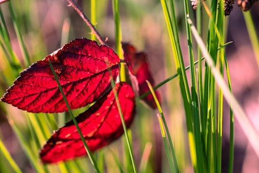 Red, Leaf, Autumn, Leaves, Nature, Maple, Tree
