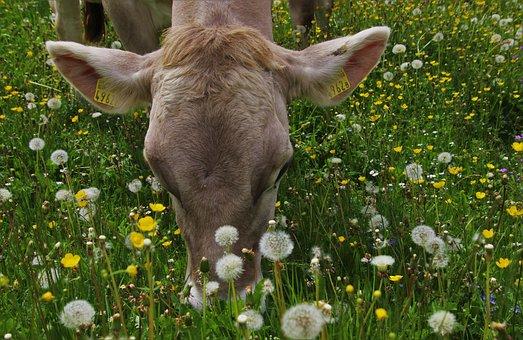 Cow, Calf, Meadow, Flowers, Grazing, Head, Animal
