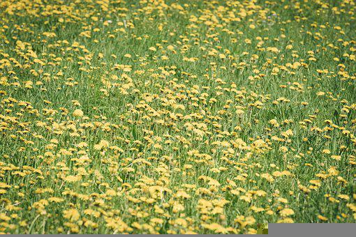 Dandelion, Flowers, Meadow, Yellow Flowers, Bloom
