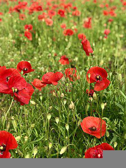 Poppies, Wildflowers, Meadow, Red Poppies, Red Flowers
