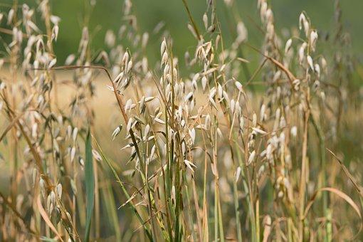 Oats, Plant, Farm, Cereal Grains, Crop, Plantation