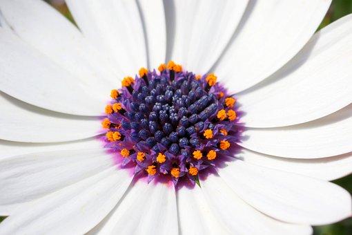 African Daisy, Flower, Pistil, Petals, White Flower