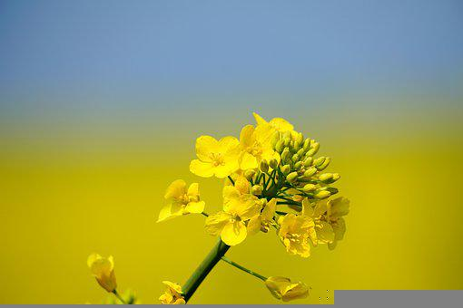 Rapeseed, Flowers, Plant, Yellow Flowers, Petals, Buds