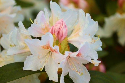 Rhododendron, Flowers, Plants, Petals, Bloom, Garden