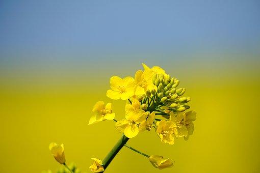 Oilseed Rape, Flowers, Plant, Yellow, Petals, Bud