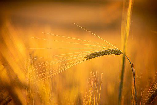 Wheat, Agriculture, Grain, Spike, Plant, Field, Nature