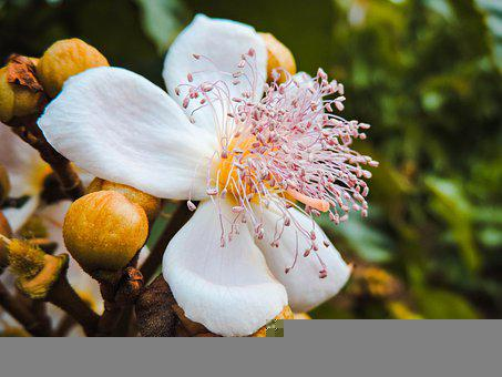 Achiote, Flower, Plant, White Flower, Petals, Buds