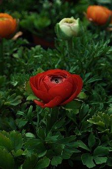 Rad, Flower, Blossom, Beautiful, Rose, Green, Leaf