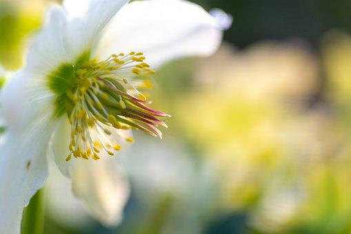 Flower, Petals, Pistil, Stamen, White Flower, Bloom