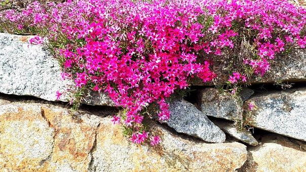 Wall, Flowers, Hanging Flower, Wallflower, Blossom