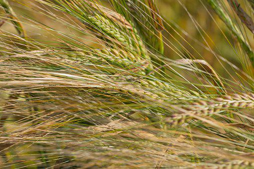 Wheat, Crop, Farm, Cereal Grains, Natural, Food, Plant