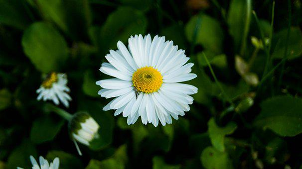 Daisy, Flower, Plant, White Flower, Petals, Bloom