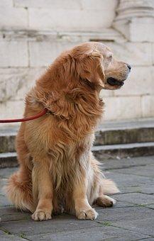 Golden Retriever, Dog, Pet, Animal, Domestic Dog