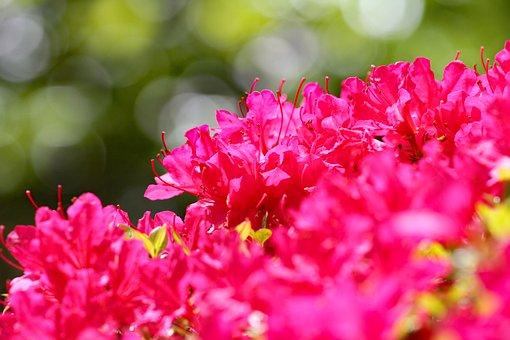 Flowers, Azalea, Bush, Rhododendron, Calendulaceum