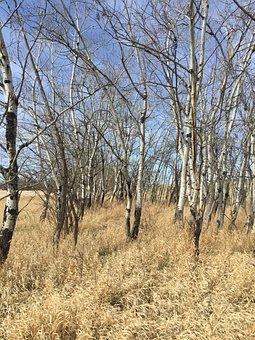 Birch, Field, Landscape, Nature, Trees, Grass, Sky