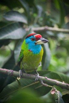 Blue Throated Barbet, Bird, Branch