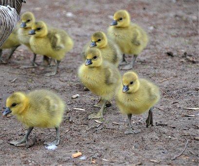 Gosling, Goslings, Gray Geese, Birds, Chicks, Geese