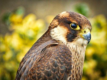 Falcon, Bird, Animal, Bird Of Prey, Raptor, Wildlife