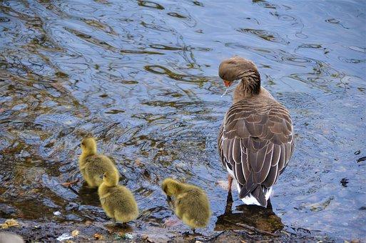Gosling, Greylag Geese, Goslings, Channel, Water, Geese